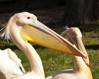 Free Pelican Royalty Free Stock Photography - 39892217