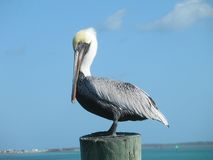 Pelican. A Pelican at rest in Bimini, Bahamas Stock Photo