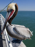 Pelican. California brown pelican on a sunny day Stock Image