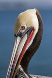 Pelican. California brown pelican on a sunny day Royalty Free Stock Photography