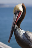 Pelican. California brown pelican on a sunny day Royalty Free Stock Images