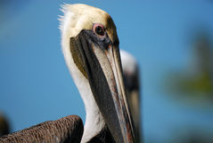 Pelican. Against blue sky,taken in Everglade Florida Royalty Free Stock Photography