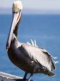 Pelican. California brown pelican on a sunny day Stock Photography