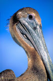 Pelican Stock Photo