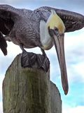 Pelican. Looking for fish handouts royalty free stock images