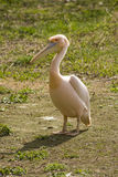 Pelican. Standing on a ground Royalty Free Stock Images
