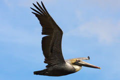 Pelican. Close-up of a pelican bird in flight royalty free stock photography