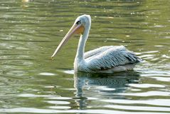 Free Pelican Stock Photo - 4957660