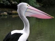Pelican. At teh Royal Melbourne Zoo, in Australia stock photo