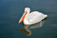 Free Pelican Royalty Free Stock Photography - 56035767