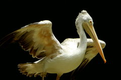 Pelican. A pelican is any of several very large water birds with a distinctive pouch under the beak belonging to the bird family Pelecanidae Royalty Free Stock Photography