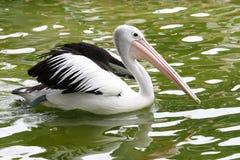 Pelican. A pelican stock photo