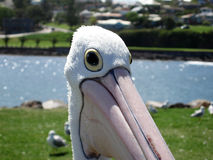 Pelican. A big pelican waiting for food in Australia royalty free stock image