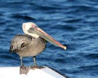 Pelican Stock Image