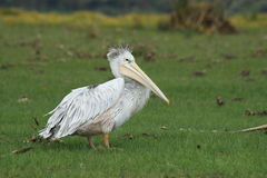 Pelican. A white pelican standing in a grass river bank Stock Photo