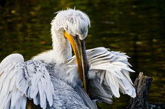 Pelican. Picture of a pelican cleaning its feathers Stock Image