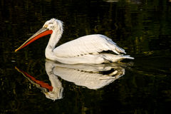 Pelican. Picture of a pelican cleaning its feathers Stock Photo