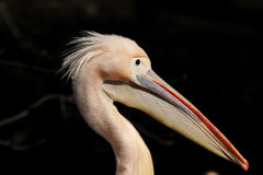 Pelican. Close up of a Pelican head stock photography