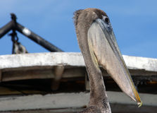 Pelican. Rio Dulce river in Guatemala royalty free stock image