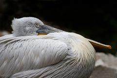 Pelican. Resting with its beak on its belly Stock Images