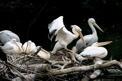 Pelican. Group of the pelicans on nest Royalty Free Stock Photography