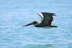 Pelican. A Pelican flys near the coast in Cocoa Beach, FL Stock Photos