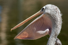 Free Pelican Stock Photography - 7383132