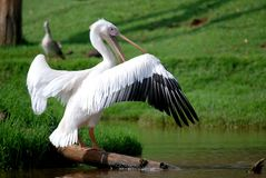 Pelican. Image of pelican resting on a log Stock Photos