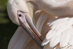 Pelican. Head of a pelican Royalty Free Stock Image