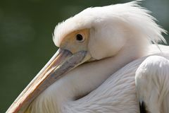 Pelican. Head of a pelican Stock Photography