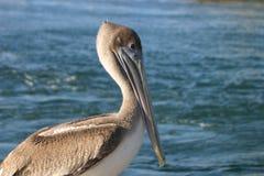 Pelican. A pelican bird near the edge of the ocean in Florida, USA Royalty Free Stock Photos