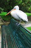 Pelican. In park Royalty Free Stock Photo