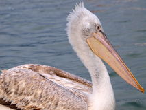 Pelican. A closeup view of a Pelican bird in water royalty free stock photography