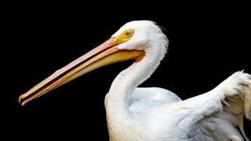 Free Pelican Stock Photography - 78872692