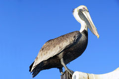 Pelican with blue background Stock Photos