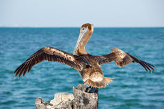 Pelican with spread wings Stock Photos