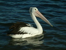 Pelican. Swimming on the foreshore in Australia Stock Image