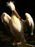 Pelican. High and mighty pelican posing Stock Image