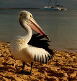 Pelican. On Sand Beach, Close Up in front of ocean royalty free stock photos