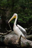 Pelican. A pelican standing on the water's edge of the tree branches Stock Image