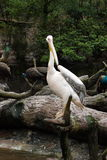 Pelican. A pelican standing on the water's edge of the tree branches Royalty Free Stock Images