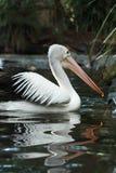 Pelican. In Taronga Zoo, Sydney, Australia royalty free stock photos