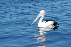 Pelican. S(Pelecanus conspicillatus) on coastal lake of NSW,Australia Royalty Free Stock Photography
