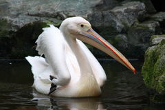 A Pelican Stock Photography