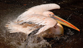 Pelican action Stock Photo