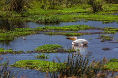 Pelican in african lake Stock Photography