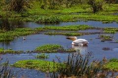 Pelican in african lake. Ngorongoro area. Tanzania stock photography