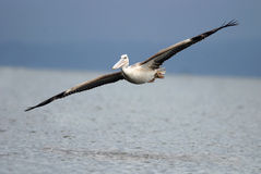Pelican African, Pink backed pelican, Pelecanus rufescens. Kenya stock photography