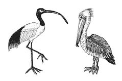 Pelican and African sacred ibis. Engraved Hand drawn vector birds, sketch graphic vintage style, phoenicopteridae Stock Image