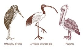 Pelican and African sacred ibis and storks. Engraved Hand drawn vector birds, sketch graphic vintage style. Phoenicopteridae. Tropical animal Stock Photo